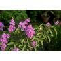 Banaba - Giant Myrt, Lagerstroemia Sp. Semillas Para Plantas