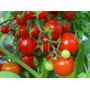 Mini Tomate Enredadera Para Cestas Y Macetas Semillas