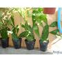Hermosos Cactus De 45- 50 Cm