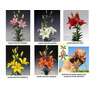 Bulbos Combo Liliums / Azucenas Flor Gig.5 Col. X 5 Bulbos