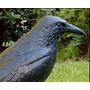 Cuervo Espanta Pajaros Raven, Erradica Palomas, Crow, Muñeco