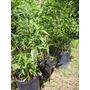 Plantas De Caña Arundinaria Japonica En 5 Lts