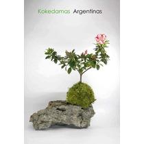 Kokedama De Azalea, Plantas En Musgo & Kokedamas Argentinas