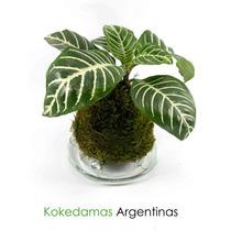 Kokedama De Aphelandra... Kokedamas Argentinas..