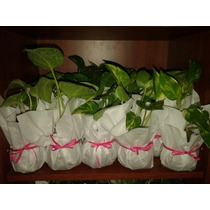 Plantas Kokedamas Desde $ 50!