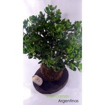 Kokedama De Crassula Arborences, Arbol De Jade..imponente!!!