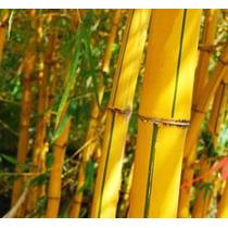 Caña Bambú Vittata 20 Lts. Planta Exterior, Envíos Gratis