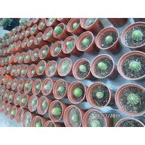 25 Cactus Enraizados Para Souvenirs Y Regalos (art. 81)