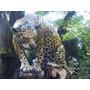 Jaguar En Tamaño Real.fabricado En Resina