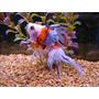 Goldfish Calico Chico!!!!! Surtido Elegi Mundo Acuatico