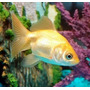 Goldfish Chico Surtido,!!! Elegi Mundo Acuatico