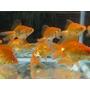 Goldfish Chico Surtido Promo Mundo Acuatico