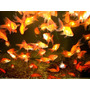 Goldfish Chico Surtido Super Oferta En Mundo Acuatico