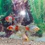 Peces De Agua Fría, Shubunkins, Goldfish, De 8 A 10cm