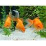 Goldfish Chico Surtido:),!!! Elegi Mundo Acuatico