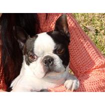 Boston Terrier Ofrece Sus Servicios