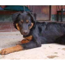 Cachorro Divertido Y Alegre En Adopción- Oso