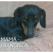 Cachorros Salchicha ( Daschund-teckel ) Mini-mini. Real !!