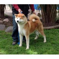 Excelentes Cachorros Akita Inu- Pedigrí Internacional