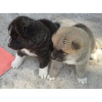 Hermosos Cachorros De Akita Inu