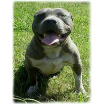 Pitbul Blue American Bully Cachorros Machos Y Hembras