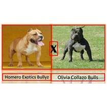 American Bully Cachorros