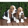 Basset Hound Batatas Cachorros Tricolores Y Bicolores **