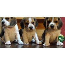 Cachorros Beagle Fca Nietos De Campeones
