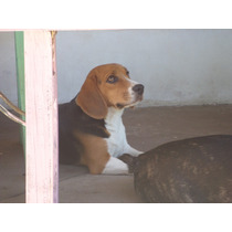 Cachorros Beagle Fca 13¨