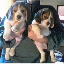 *+* Los Mas Lindos Cachorros Beagle Para Exigentes *+*