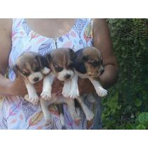 Beagle Hermosos De 13 Pulgada Vendo O Permuto .por Buen Celu