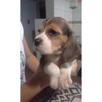 Ultimos Beagles Tricolor De 13 Los Mas Lindos!!