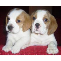 Cachorros Beagle Del Protegido