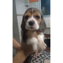 Beagles Tricolor De 13 . Excelente Calidad!!