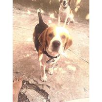 Servicio De Beagle Macho $1000