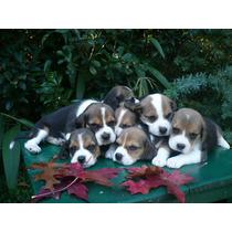 Espectacular Cabaña De Beagles-cabaña Scaligers-cachorros.