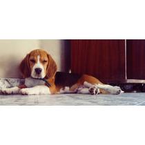 Servicio Beagle Macho Tricolor 13´ Con Fca.