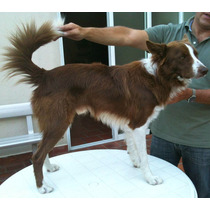 Servicio Border Collie - C/pap Fca Puro 100%