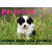 Cachorros Border Collie Blanco Y Negro