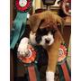 Boxer Excelente Calidad Exposicion Linea Rockefeller Willsam