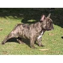 Bull Dog Frances Cachorro Machos De Expecicion Con Fca