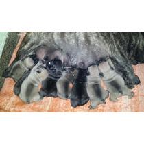Cachorro Bull Dog Frances Machos Haga Su Reserva