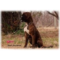Cachorro Boxer Sangre 100% Europea