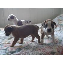 Cachorros Boxer Puros