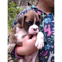 Boxer Cachorros Bayos Y Atigrados Linea Willsam