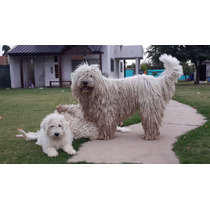 Cachorro Komondor, Boyero De Berna, Bullmastiff San Bernardo