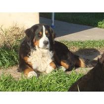 Hermosos Cachorros Boyeros De Berna!!!