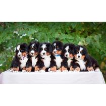 Cachorros Boyero De Berna-padre Traído De Europa-