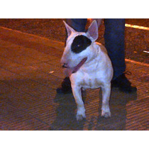 Servicio De Stud Monta Bull Terrier Con Fca Sangre Peracho