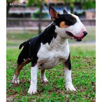 Servicio De Stud Para Hembras Bull Terrier Con Fca